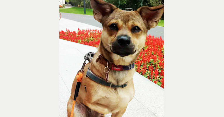 Photo of Pipa, a Chinese Village Dog  in 上海, 上海市, 中國