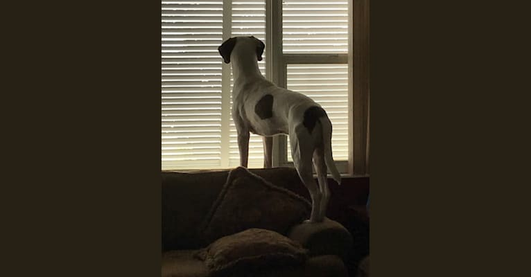 Photo of Phin Pitts, a Treeing Walker Coonhound, American Pit Bull Terrier, American Bulldog, and Mixed mix in Merritt Island, FL, USA