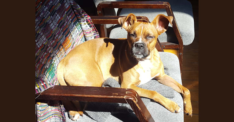 Photo of Olive, a Boxer, Miniature Schnauzer, and American Pit Bull Terrier mix in Greenville, South Carolina, USA