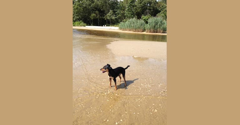 Photo of Franklin, a Miniature Pinscher, Poodle (Small), and Mixed mix in Haddonfield, NJ, USA