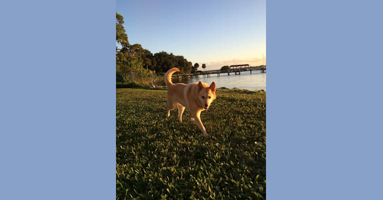 Photo of Trixie, a German Shepherd Dog, Pomeranian, Great Pyrenees, Chow Chow, and Australian Cattle Dog mix in Florida, USA