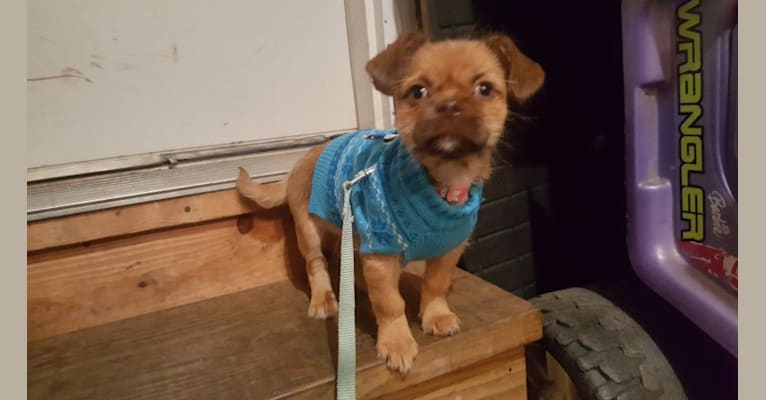 Photo of Lula, a Shih Tzu and Silky Terrier mix in Tony Happy Puppies, Highway 20, Hampshire, IL, USA