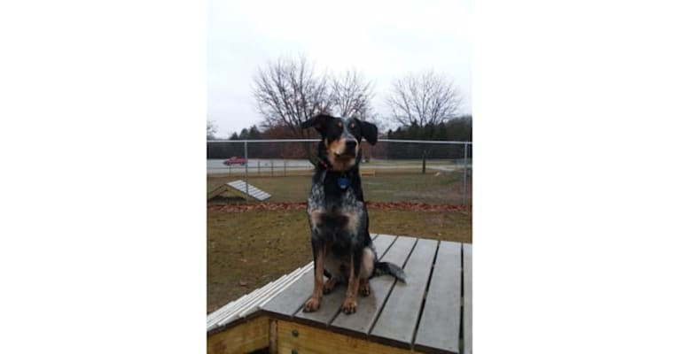 Photo of Ranger, an Australian Cattle Dog, American English Coonhound, and Border Collie mix in West Plains, Missouri, USA