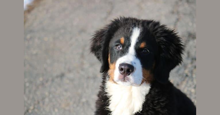 Photo of Lena, a Bernese Mountain Dog  in Minnesota, USA