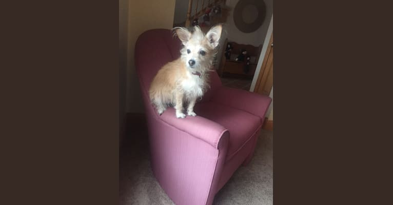 Photo of Mazie, a Rat Terrier, Miniature Schnauzer, and Mixed mix in Schaumburg, Illinois, USA