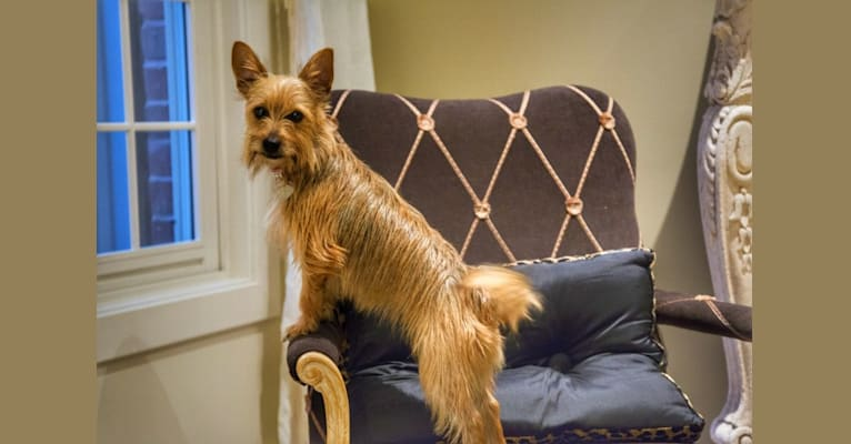 Photo of Josie, a Yorkshire Terrier and Russell-type Terrier mix in Mt Vernon, IL, USA