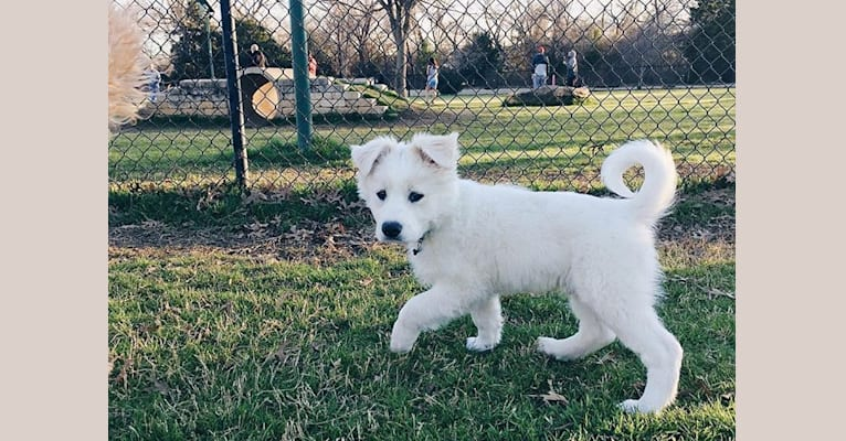 Photo of Collin, a Pembroke Welsh Corgi, American Pit Bull Terrier, and Golden Retriever mix in Texas, USA