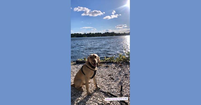 Photo of Gus, a Labrador Retriever  in Louisiana, USA