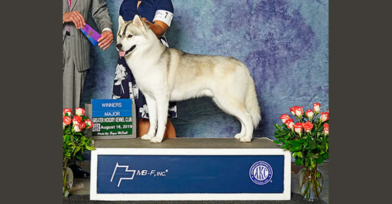 Photo of Ivie's Strength is Honor, a Siberian Husky  in Rockingham, NC, USA
