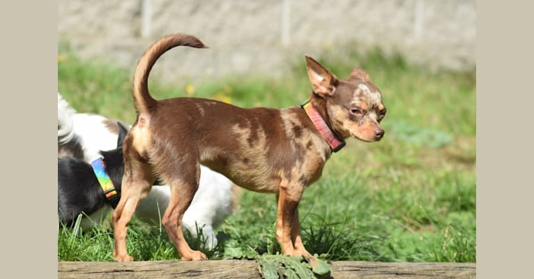 Photo of Georgia, a Chihuahua  in Salem, OR, USA