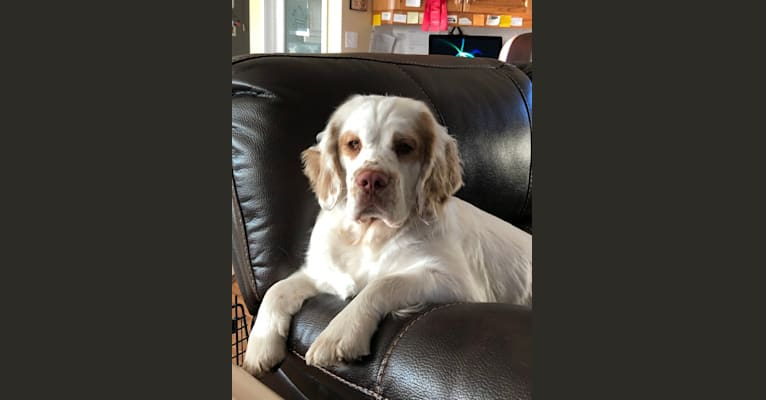 Photo of Molly, a Clumber Spaniel  in England, UK