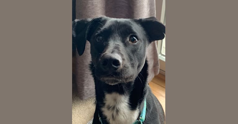 Photo of Ollie, an American Pit Bull Terrier, Siberian Husky, Shetland Sheepdog, Labrador Retriever, Australian Shepherd, and German Shepherd Dog mix in Molly's Place Rescue Pet Adoption Center, East Trindle Road, Mechanicsburg, PA, USA