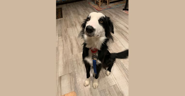 Photo of Bryn, a Border Collie  in Unknown, California, USA