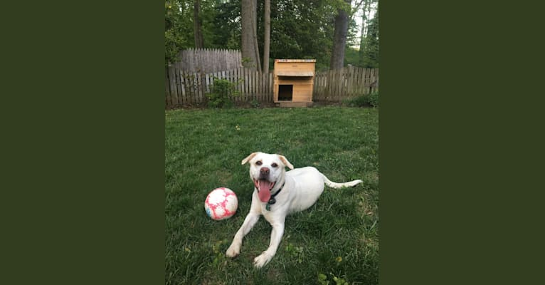 Photo of Denali, an American Pit Bull Terrier, Labrador Retriever, Beagle, and Mixed mix