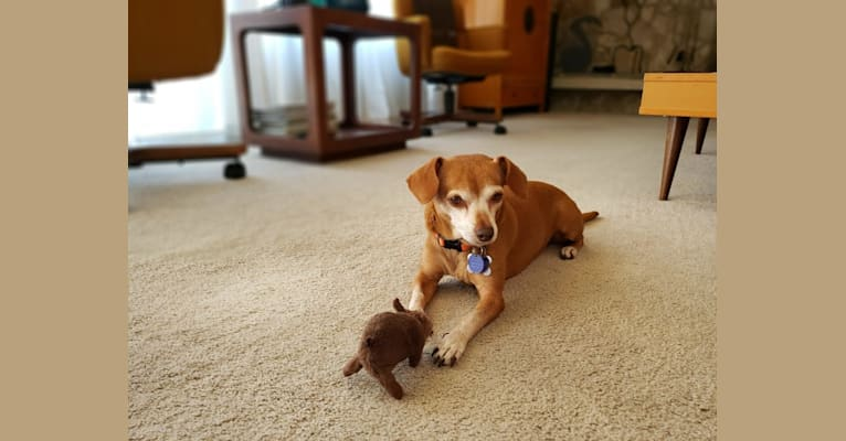 Photo of Penny, a Chihuahua and Mixed mix in Los Angeles, California, USA