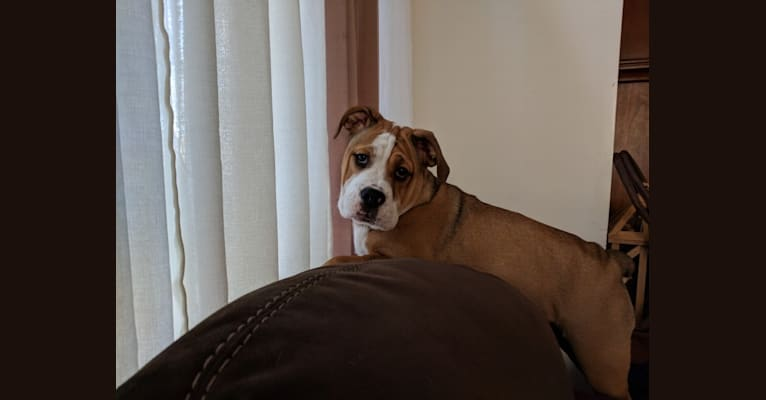 Photo of Lola, a Bulldog and Beagle mix