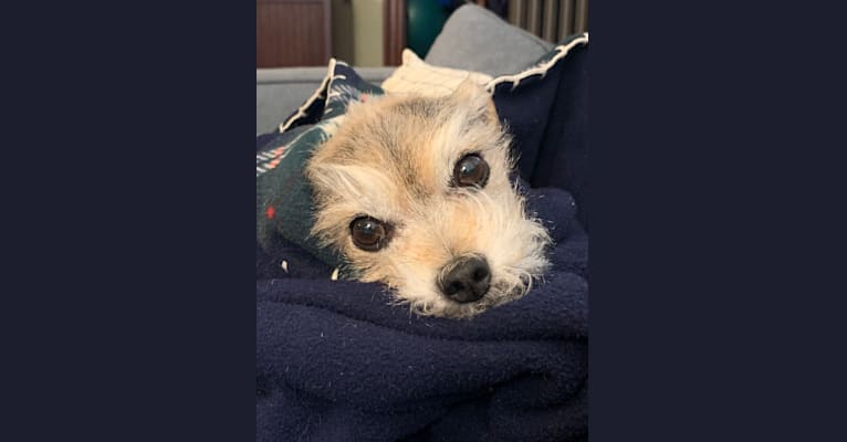 Photo of Rosie, a Yorkshire Terrier, Chihuahua, Poodle (Small), Maltese, and Miniature Schnauzer mix in Newton, Massachusetts, USA