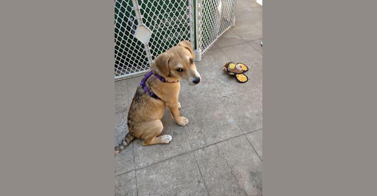Photo of Benji, a Siberian Husky, American Bully, and Mixed mix in Fresno, CA, USA