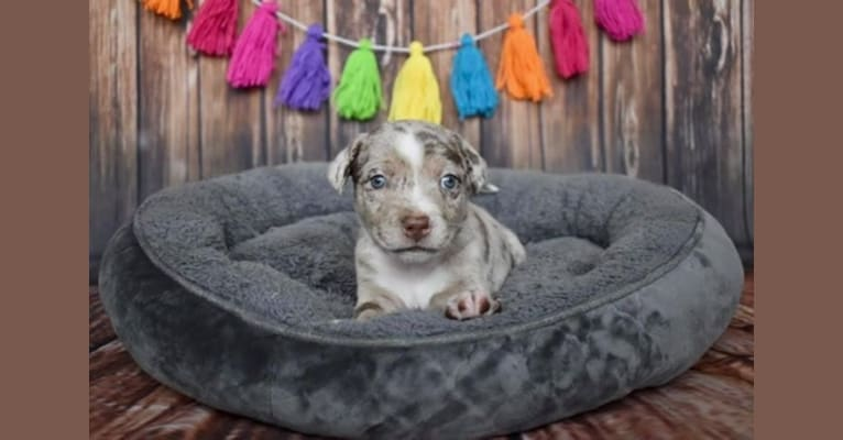 Photo of Rigby, a Miniature/MAS-type Australian Shepherd, American Pit Bull Terrier, Labrador Retriever, and Australian Shepherd mix in Frisco, TX, USA