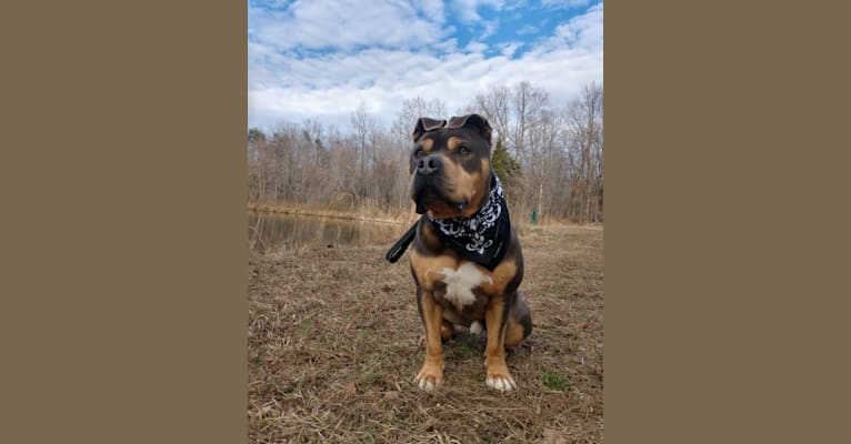 Photo of Future, an American Staffordshire Terrier
