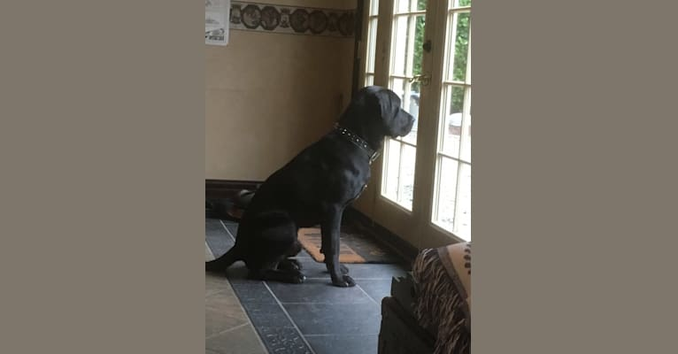 Photo of Gambit, a Labrador Retriever, Great Dane, and American Staffordshire Terrier mix in Gig Harbor, Washington, USA