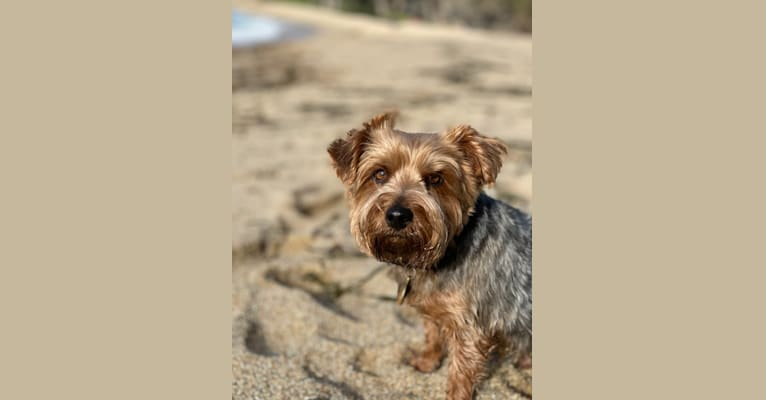 Photo of Dante, a Yorkshire Terrier  in SF, California, USA