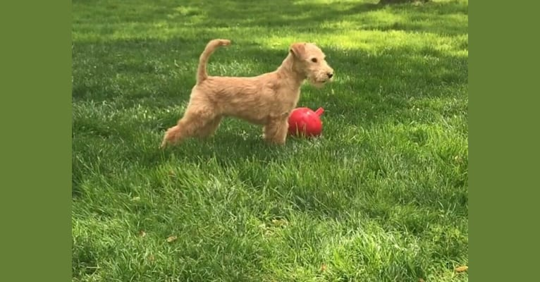 Photo of Carino, a Lakeland Terrier  in Italy
