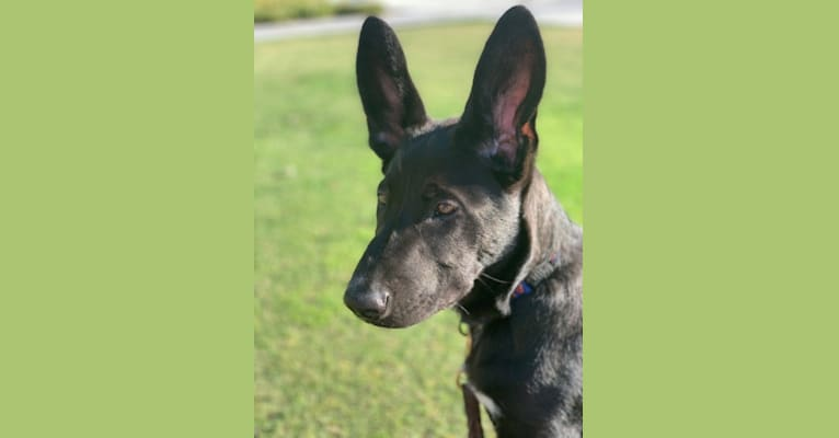 Photo of Jagger, a German Shepherd Dog, American Bully, and American Pit Bull Terrier mix