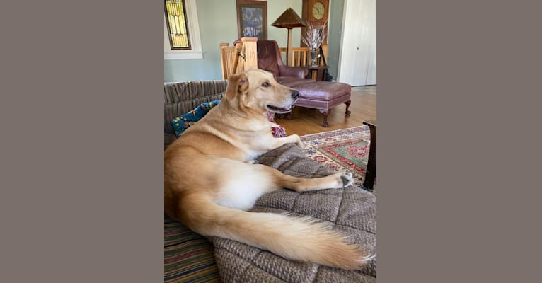 Photo of Colby, a Golden Retriever, Shetland Sheepdog, Catahoula Leopard Dog, and Mixed mix