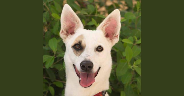 Photo of Tiara, a West Asian Village Dog  in Dubai, Dubai, United Arab Emirates