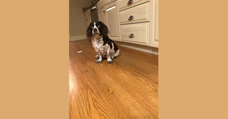 Photo of Fletcher, a Cocker Spaniel and Yorkshire Terrier mix in Sarasota, Florida, USA