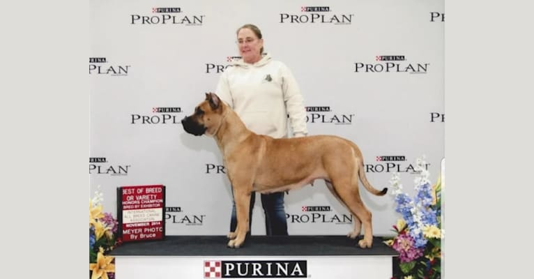 Photo of Suey 2, a Perro de Presa Canario  in IL, USA