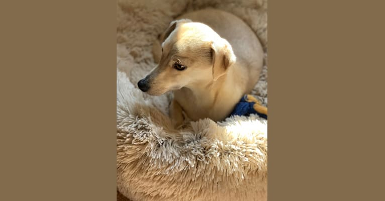 Photo of Bexar, a Chihuahua, Poodle (Small), Dachshund, and Mixed mix in Cottonwood Shores, Texas, USA