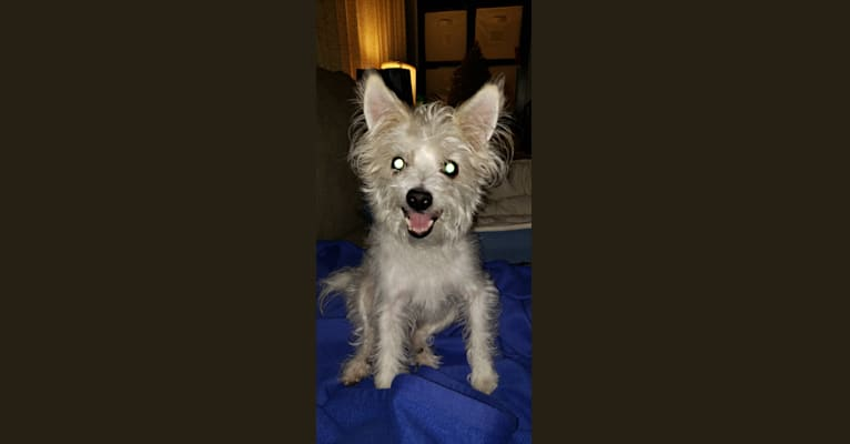 Photo of Sam, a Maltese, Rat Terrier, and Russell-type Terrier mix