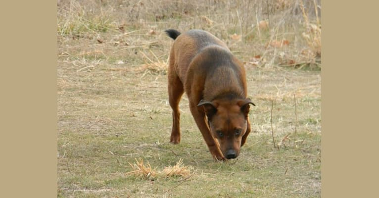 Photo of Brinks, an Australian Cattle Dog, Rottweiler, and Labrador Retriever mix in Centerton, Arkansas, USA