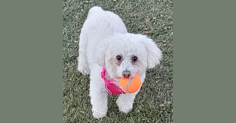 Photo of The Junkyard Dog, a Poodle (Small) and Mixed mix in Las Vegas, Nevada, USA