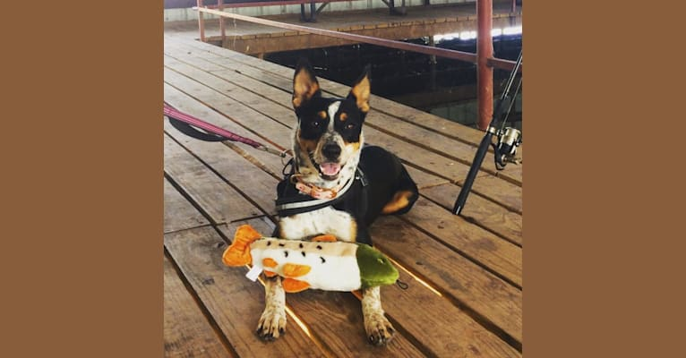 Photo of Bailey June, an American Pit Bull Terrier, Australian Cattle Dog, Border Collie, and American Staffordshire Terrier mix in Lubbock, Texas, USA