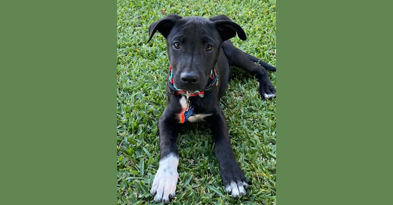 Photo of Rollo, an American Pit Bull Terrier, German Shepherd Dog, Belgian Malinois, Poodle (Small), and Mixed mix in Rancho Cordova, California, USA