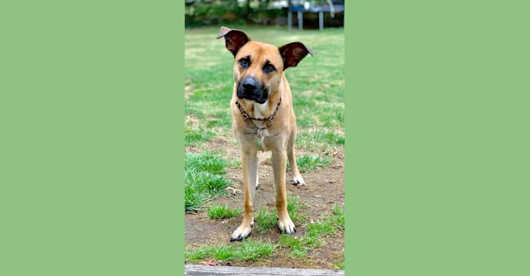 Photo of Nova, an American Pit Bull Terrier, German Shepherd Dog, Boxer, and Mixed mix in Aiken, South Carolina, USA