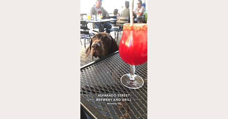 Photo of Hank, a German Shorthaired Pointer, Labrador Retriever, Bloodhound, and Pointer mix in San Jose, California, USA