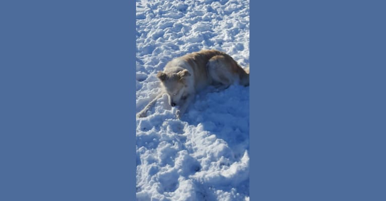 Photo of Thor, a Great Pyrenees, German Shepherd Dog, and Siberian Husky mix in Hawesville, Kentucky, USA