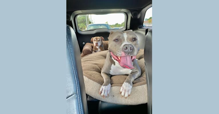 Photo of Ariel, an American Bully  in Port St. Lucie, Florida, USA
