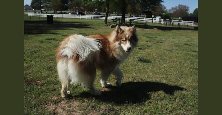 Photo of Sokka, a Siberian Husky  in North Carolina, USA