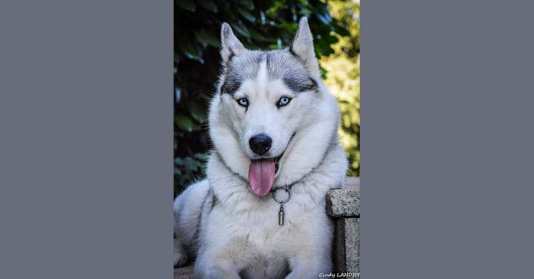 Photo of LOVELY, a Siberian Husky  in Bussang, France
