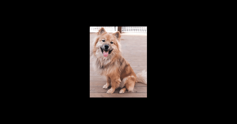 Photo of Teddy, a Japanese and Korean Village Dog, Jindo, and Siberian Husky mix in Grand Rapids, Michigan, USA