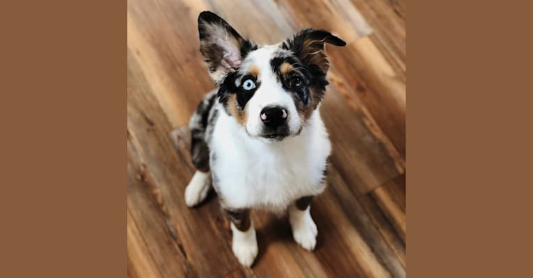 Photo of River, an Australian Shepherd Group  in Millersburg, OH, USA