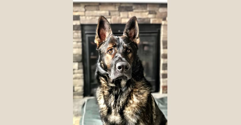 Photo of Booth vom Wahrsten, a German Shepherd Dog  in Illinois, USA