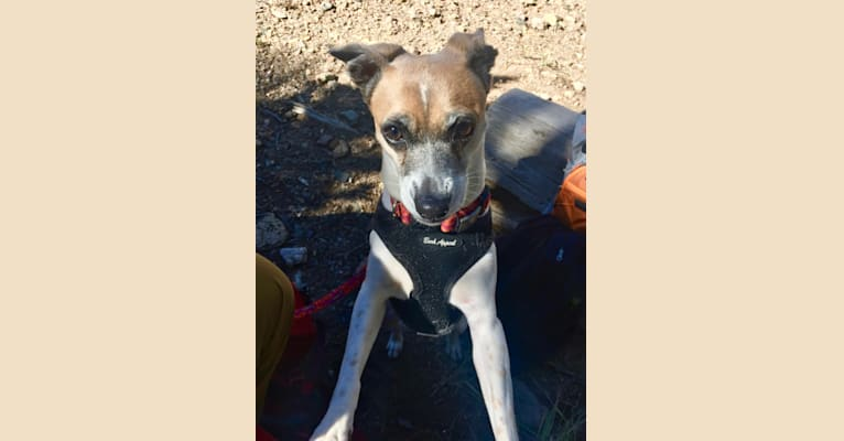 Photo of Salsa, a Chihuahua, Russell-type Terrier, and Mixed mix in Merced, CA, USA