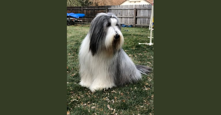 Photo of Starlight Midnight Express(Nike), a Bearded Collie  in Los Angeles, CA, USA
