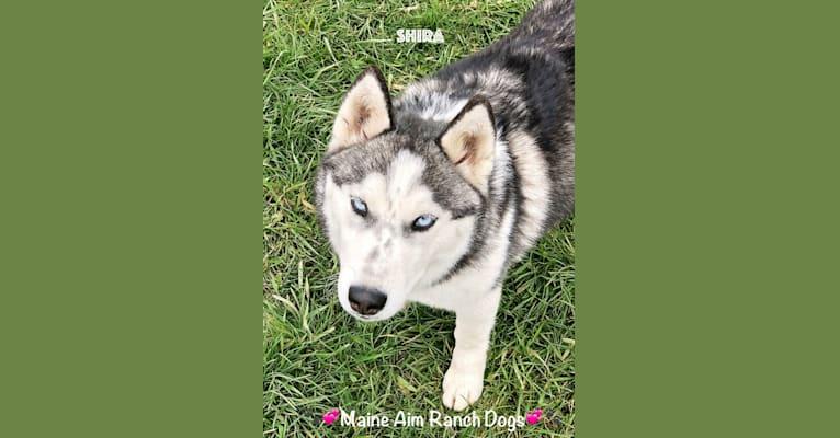 Photo of Shira, a Siberian Husky  in Allerton, Iowa, USA